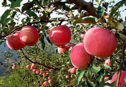 100% pure apple extract 50% 70% 80% polyphenol