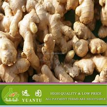 Ginger/Ginger Bulk Wholesale/Fresh Ginger For Exporting