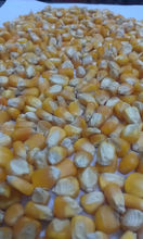FEED GRADE YELLOW CORN