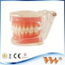 orthodonic practice model orthodontic models manufacturer dental model