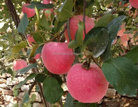 Chinese Red Delicious Fuji Apples