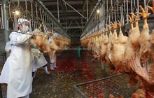 Poultry equipment chicken matadero