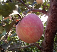 China Fresh red Fuji Apple of carton packing