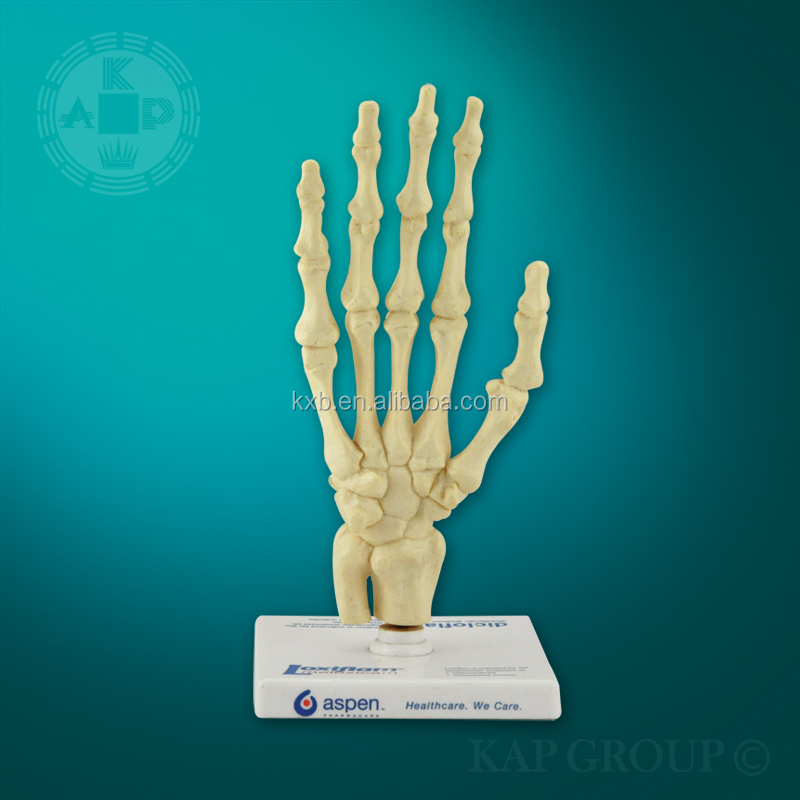 Plastic 3d human anatomy teaching skeleton hand model buy skeleton skeleton hand model a01 003 ccuart Images
