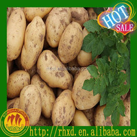 new crop Fresh Organic Holland Potato