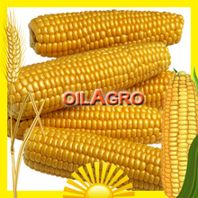 YELLOW CORN MAIZE for ANIMAL FEED from UKRAINE