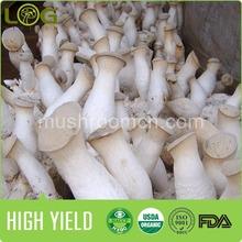 high yileld king oyster eryngii mushroom logs harvest 400gram in 20 days