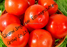 wholesale high quality chinese tomato with worthy price