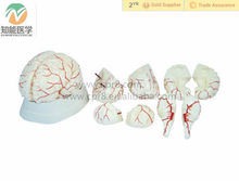 Human Brain with Arteries Anatomical Medical brain Model
