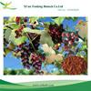 Organic Grape Seed P.E.