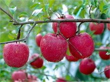 GMP factory supply Continued selling Apple Extract