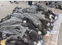 Original Natura raw l silver fox fur Skin For Garment