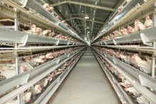 Algeria big breeding chicken farm battery cages laying hens