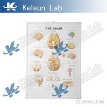 50160.04 Chart for brain