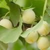 Yin xing Chinese medicine herbs Ginkgo Leaf Dried