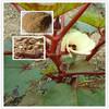 Ashwagandha Extract Ashwagandha root Extract withanolides