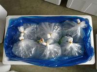 GARRA RUFA DOCTOR FISH (5-6 Cm) include Health, Pythosanitary, and CITES Certificates