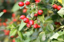 Rosehip oil supplier in India