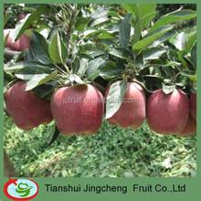 Red huaniu apple market supplier