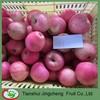 Fresh unbagged Qinguan apple fruit