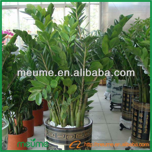 Zz plantes bonsa zamioculcas zamiifolia meilleure maison for Zamioculcas exterieur