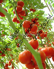 wholesale chinese tomato big sale