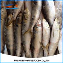 Frozen sardien fish for fishing