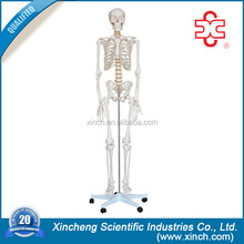 Plastic Skeleton For Teachers and Students