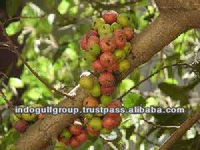Ficus Racemosa Herbal Extracts For Medicines & Cosmetics