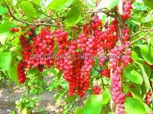 Organic schisandrae berry /OrganicWu wei zi /Organicschisandrae Fruit