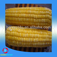2015 Chinese High Quality organic frozen corn cobs , IQF corn cobs bulk for sale