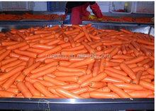 Shan Dong Delicious Tase Carrot with low price factory price