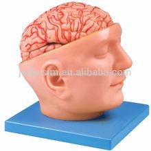 El Cerebro Con Arterias