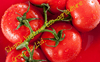 china farm tomatoes hot sale for export