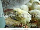 Biological poultry bacteria--obvious control efficiency for salmonella
