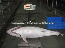 Frozen Yellow Fin Tuna Whole & Gulled / Gutted