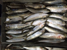 High Quality Seafood Frozen Fish Pacific Sardine Size 40-50