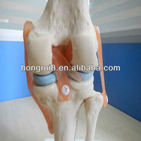 HOT SALES Natural size knee joint model,knee skeleton model,plastic knee flexionator