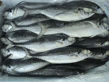 Horse Mackerel fish/ frozen fish