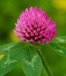 GMP Manufacturer 2.5%-8% isoflavone natural red clover extract powder