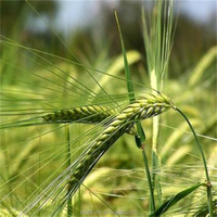 Human consumption 2 grade food wheat grains for huma consumption