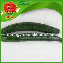 2015 HOTSALE Fresh cucumber organic green vegetables healthy fruits