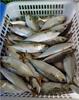 fishing nets sardines indian mackerel