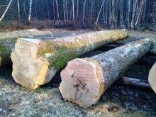 Europen White Ash Veneer Logs