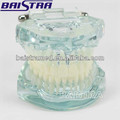 Mejor utilizado natural plástico tamaño dental estudio modelo ZYR-7001