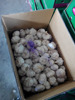 2015 chinese shandong new garlic 10kg carton