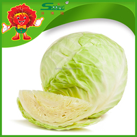 Hot Selling Chinese Fresh Cabbages