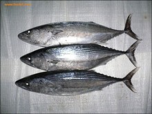 Bulk small size frozen bonito tuna for Iran market
