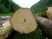 Poplar Wood Log