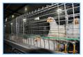 jaulas para gallinas ponedoras en África